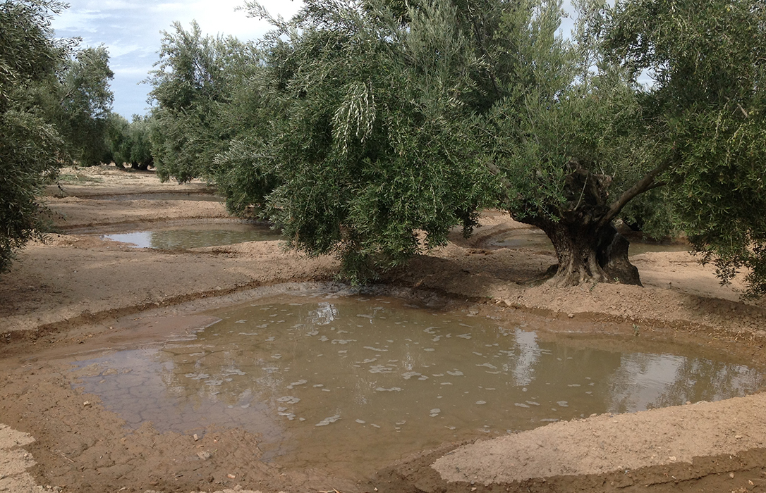 Plantean riegos extraordinarios para el olivar con las mismas dotaciones del año pasado y simplificando la tramitación
