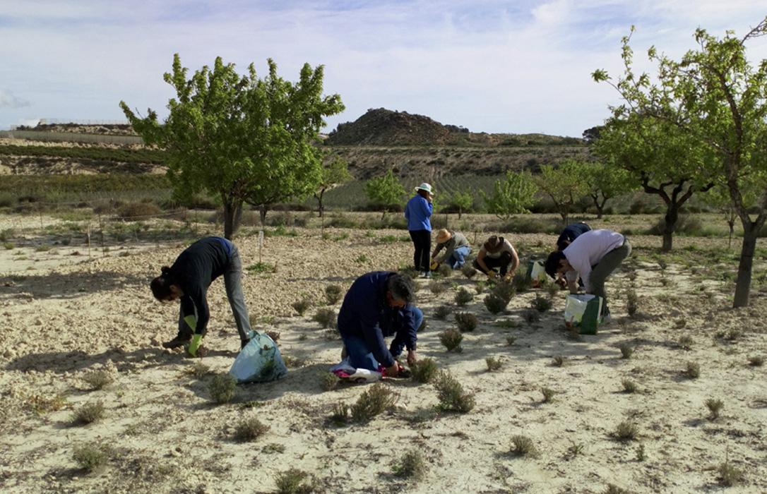 Nace el primer aceite esencial de tomillo de invierno cultivado entre almendros de secano