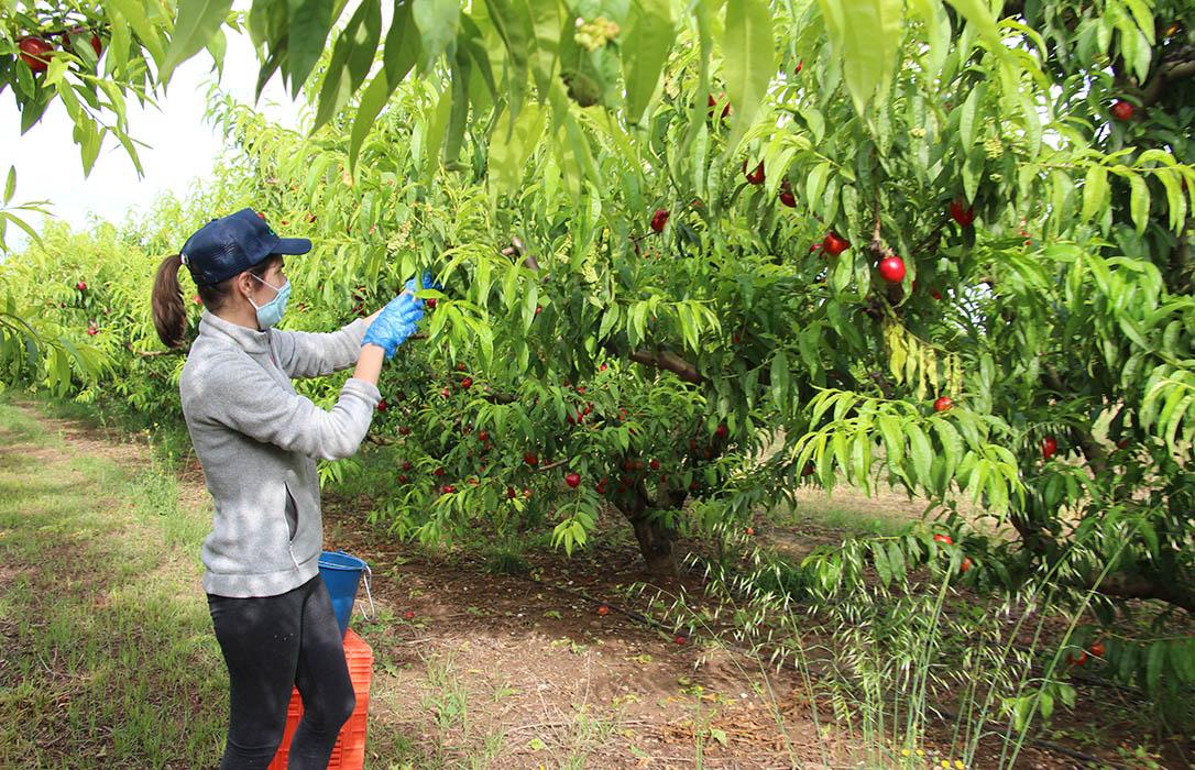 San Isidro 'regala' miles mascarillas a los trabajadores del campo gracias a la colaboración de AEFA