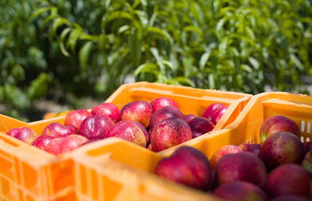 La campaña de recolección de fruta de hueso entra en su ecuador con mejores precios (un 15%) pero con más costes (30%)