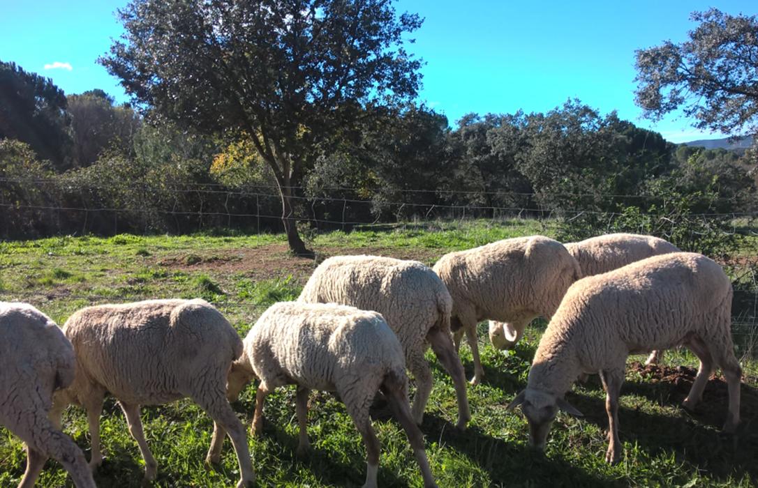 La PAC 2020 no penalizará a los ganaderos beneficiarios de las ayudas asociadas y pemitirá el pastoreo en zonas SIE