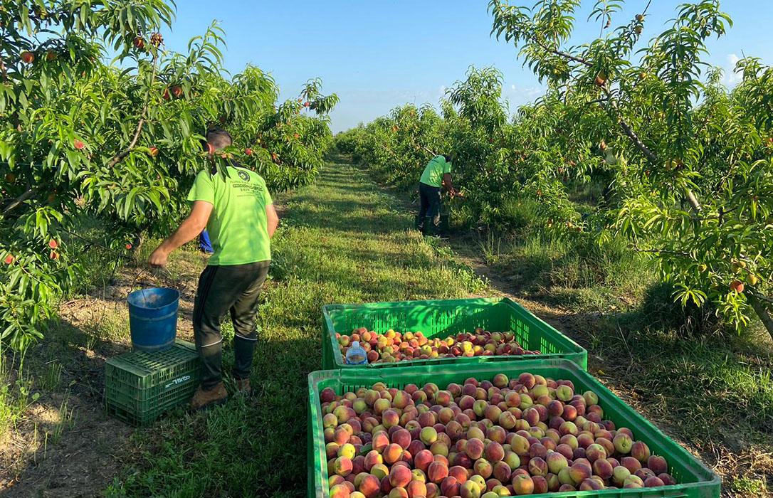 Exigen el fin del «maltrato a la fruta» por parte de algunas cadenas de la distribución, sobre todo a la fruta de verano