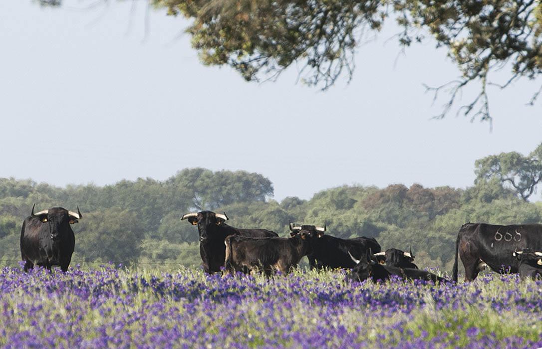 El sector de los criadores de toros de lidia reclaman ayudas urgentes ante unas pérdidas de 77 millones