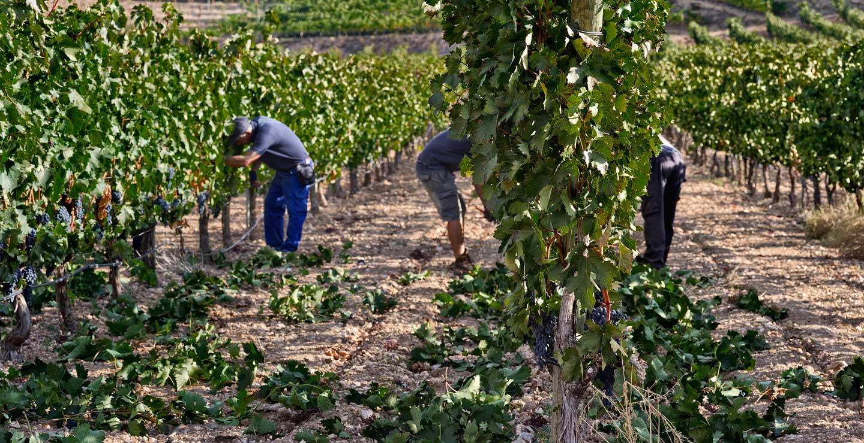 Critican que la aplicación de un coeficiente del 43% de la superficie solicitada para la cosecha en verde hace inútil la medida