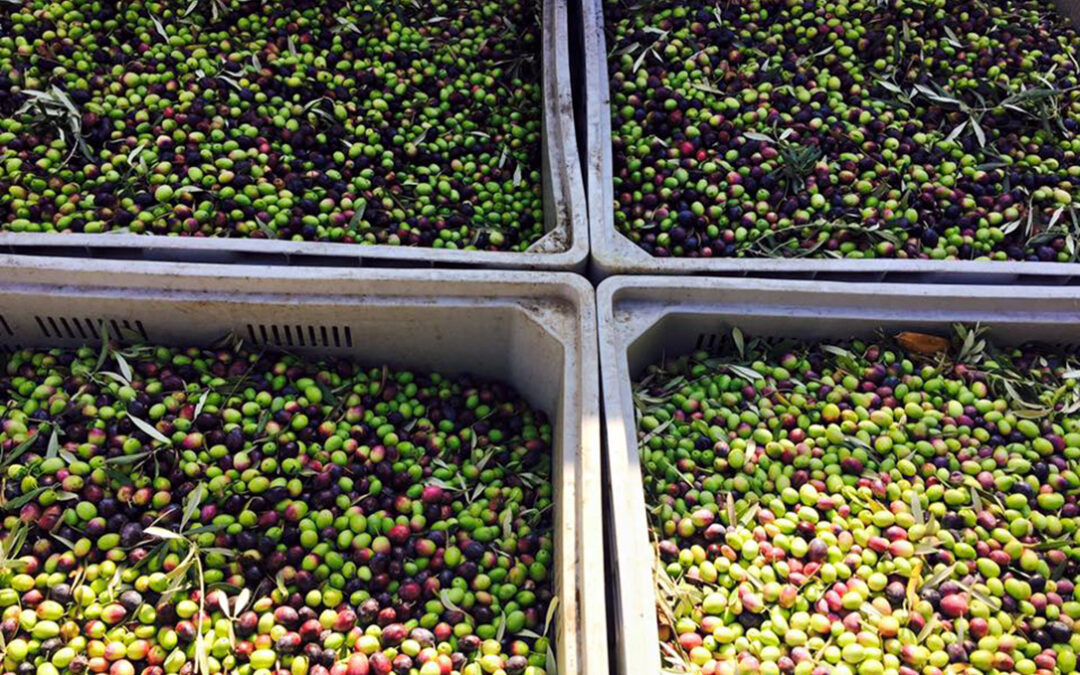 EEUU no ceja en asfixiar al sector olivarero: Podría incrementar hasta el 100% los aranceles a la aceituna española