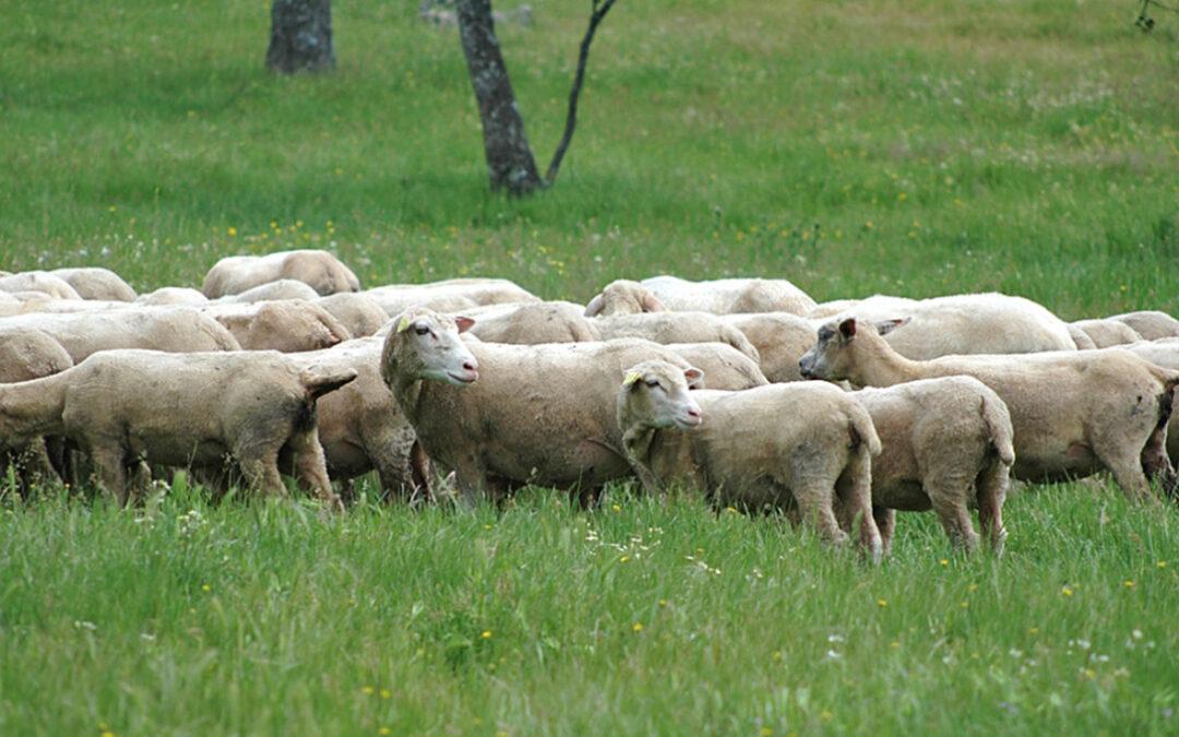 Piden a la Junta extemeña que «arrime el hombro» y complemente las ayudas estatales al ovino y caprino