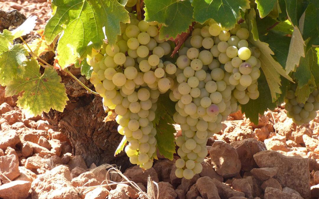 Desacuerdo con que los viticultores solo tengan siete días naturales para decidir si optan o no a la cosecha en verde