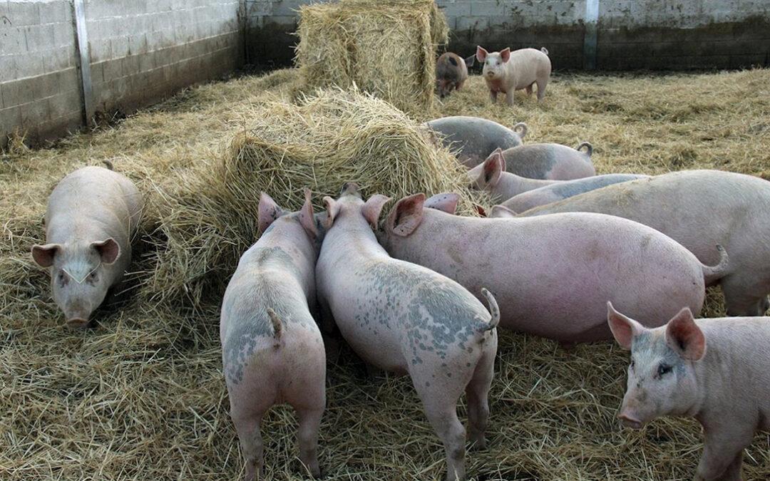 La patronal cárnica no oculta su preocupación por la alta concentración de exportaciones de porcino español a China