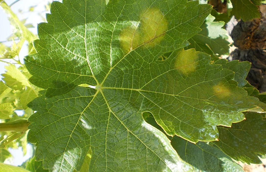 La aparición del mildiu amenaza con llevarse por delante una parte importante en la cosecha Ribeira Sacra