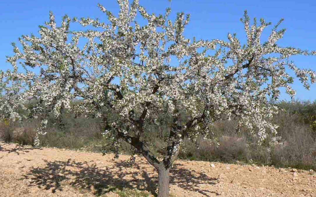 Solución a los precios de frutos secos: Recuperar la ayuda nacional de la PAC y plan de reconversión a las plantaciones de secano
