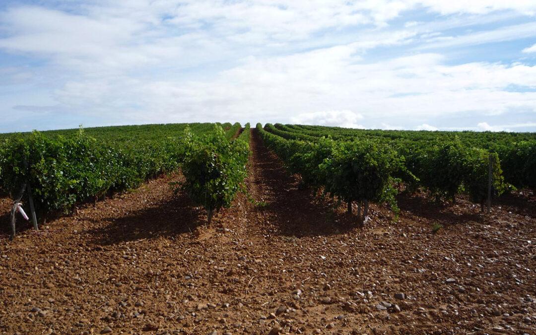 Trabas administrativas insalvables dejan solo de forma testimonial las solicitudes del pequeño viticultor a la cosecha en verde