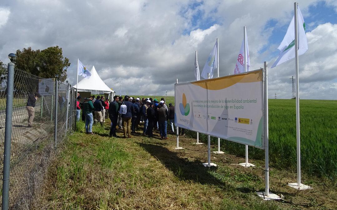 Innovatrigo pone en valor la innovación para la sostenibilidad del trigo en Andalucía