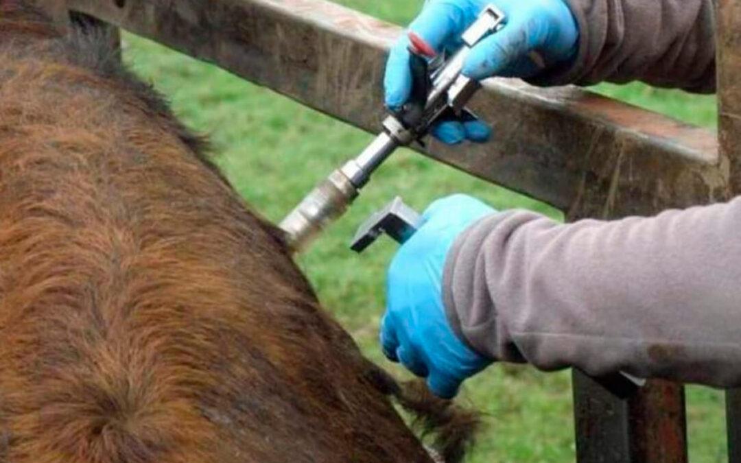 Navarra pagará ayudas de 600 euros por cada animal de vacuno sacrificado por brucelosis o tuberculosis