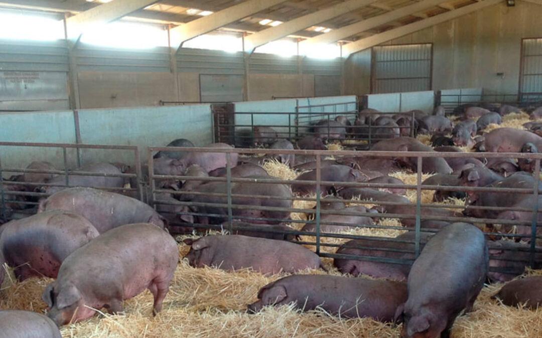 El Gobierno aprueba las ayudas por valor de 10 millones de euros para el porcino ibérico con un pago de 40 euros por animal
