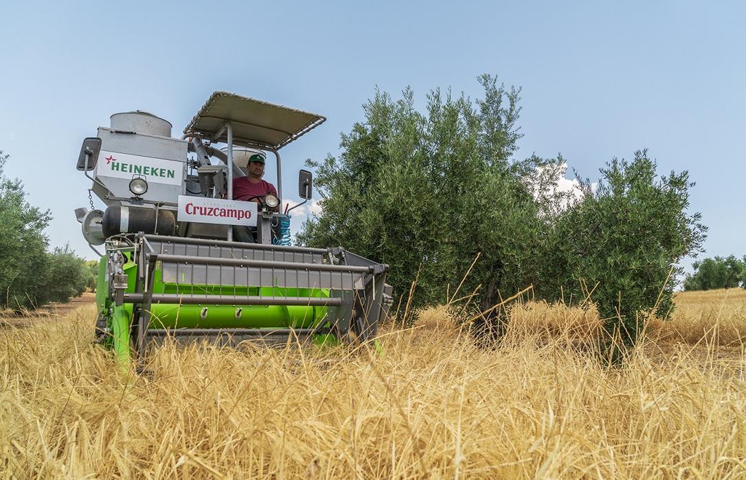 Finaliza la cuarta cosecha de cebada cervecera entre olivos para el cuidado del medioambiente y con nuevas técnicas agrícolas