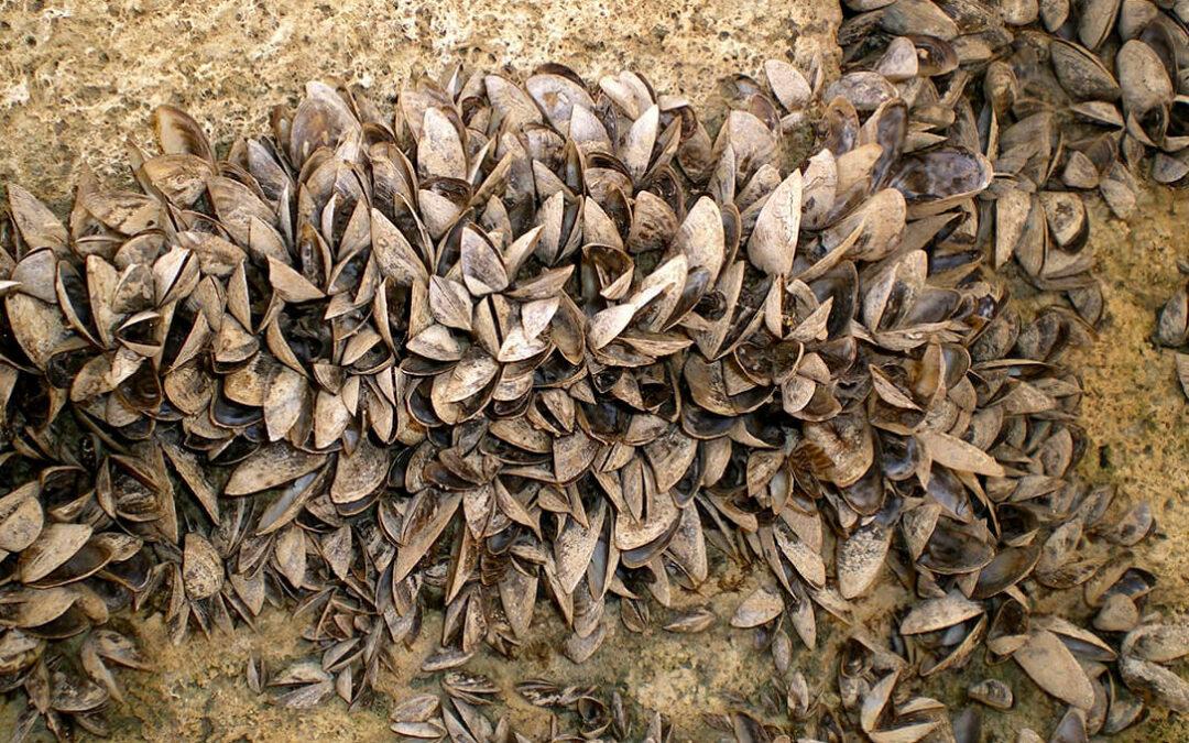 La CHE inicia la campaña de control larvario del mejillón cebra en las masas de agua superficiales de la cuenca del Ebro