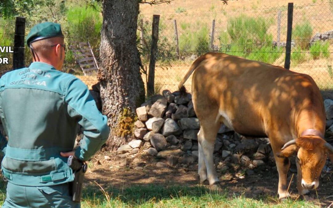 El Seprona investiga a dos ganaderos por supuestos delitos de falsedad documental al manipular crotales de ganado bovino