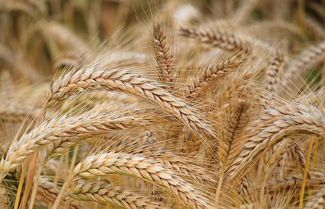 Cuando empieza a subir el precio del trigo, las últimas lluvias dejan sin cotizarlo en la lonja de León