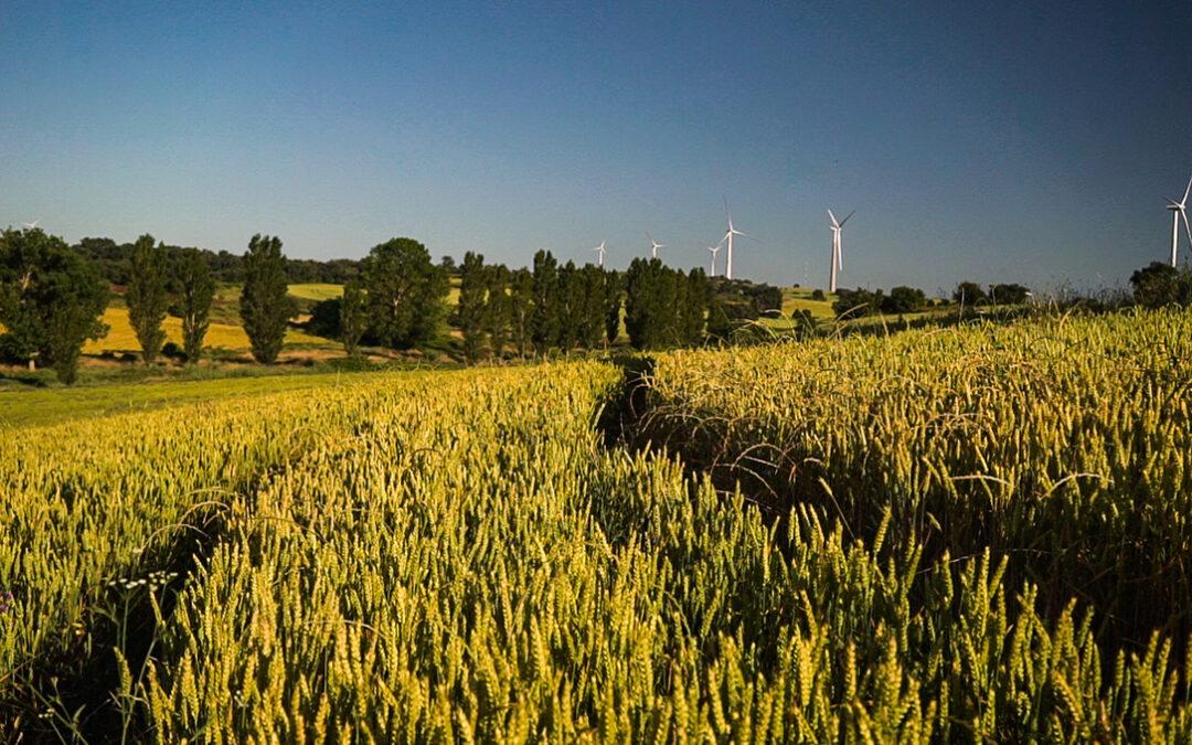 Innovatrigo presenta los exitosos resultados finales del proyecto para la producción de trigo sostenible en España