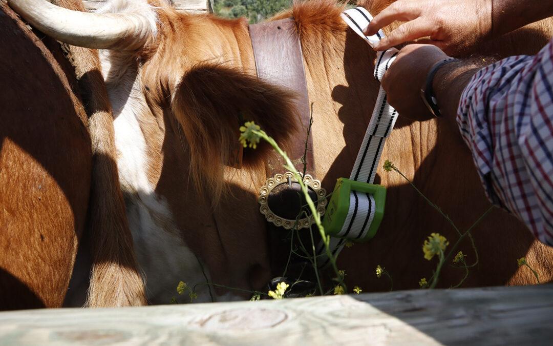 Internet de las cosas para salvar a la ganadería extensiva para el manejo de los animales y evitar ataques de lobos