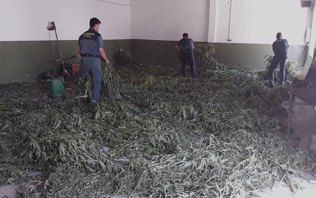 El Seprona descubre una plantación de cannabis sativa oculta en un olivar en un lugar remoto de muy difícil acceso
