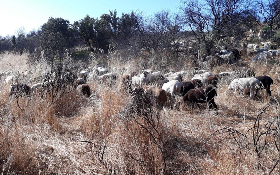 Ante la abundancia de pastos, ponen en valor el papel de la ganadería extensiva en la prevención de incendios con el pastoreo en Madrid