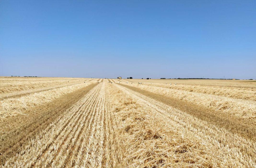 Advierten de la proliferación de topillos que amenaza con convertirse en una plaga en plena campaña de cosecha del cereal