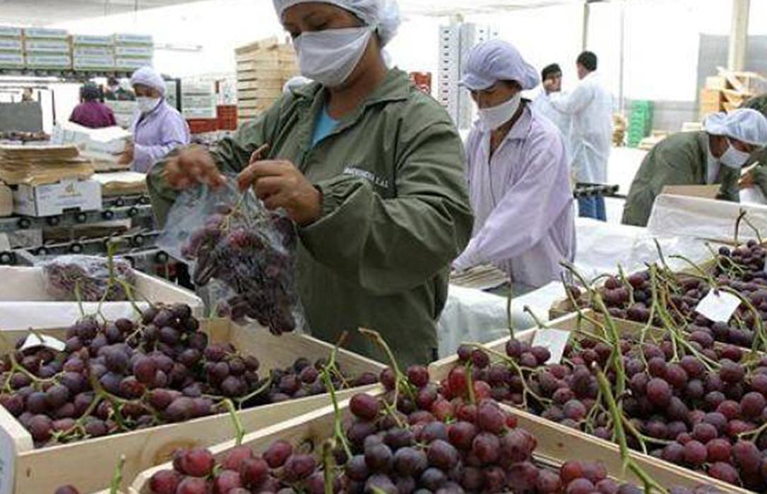 Murcia inicia los primeros envíos de uva de mesa a Vietnam, que se mantendrán durante esta campaña de 2020