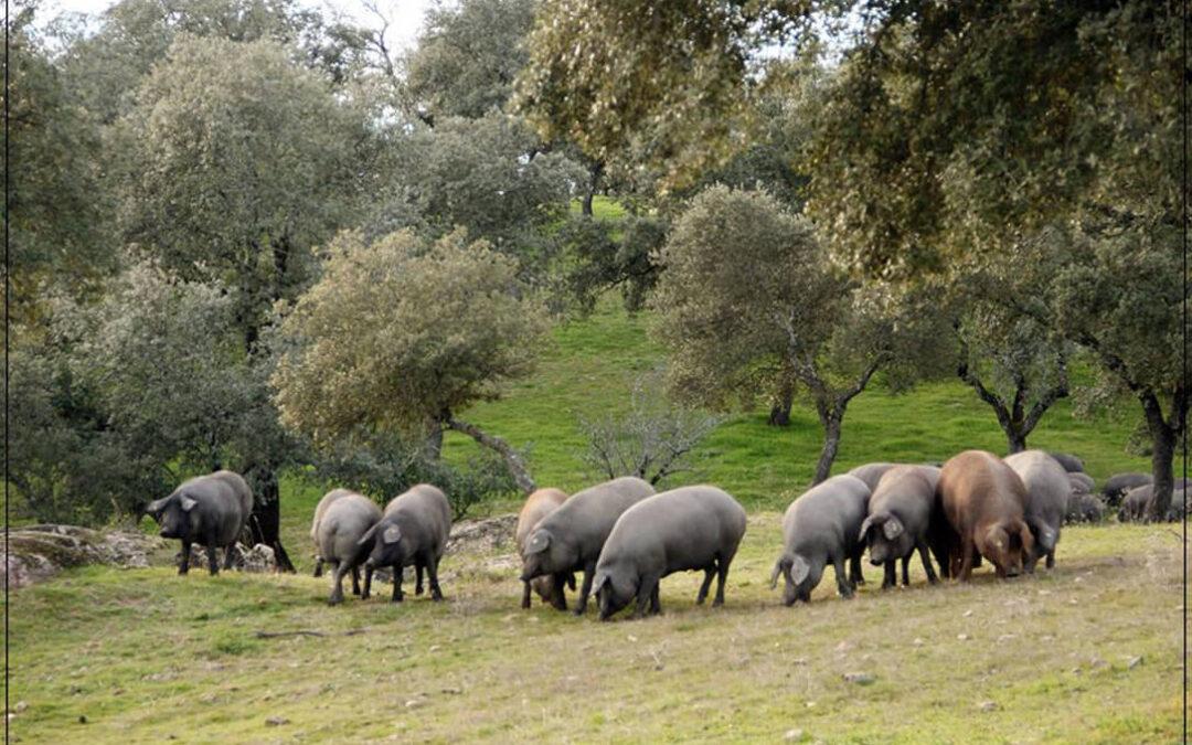 Aeceriber pide a los productores que «no se dejen llevar por la incertidumbre y que produzca cerdos «como si no hubiese pasado nada»