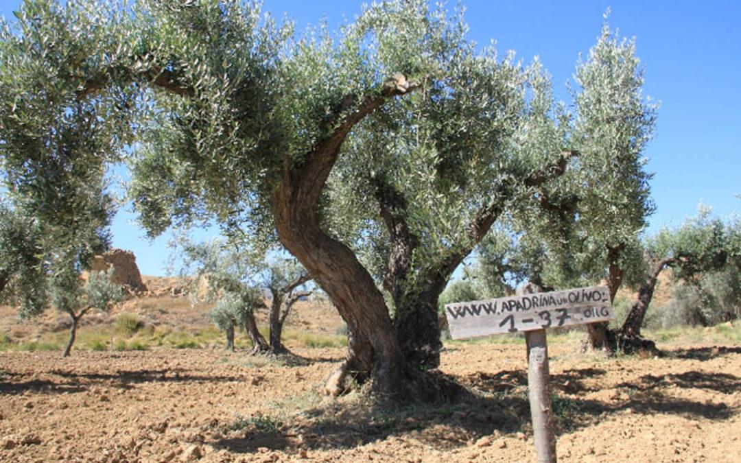 Apadrina un olivo y consigue una casa en el pueblo en Oliete, un pueblo de la España Vaciada