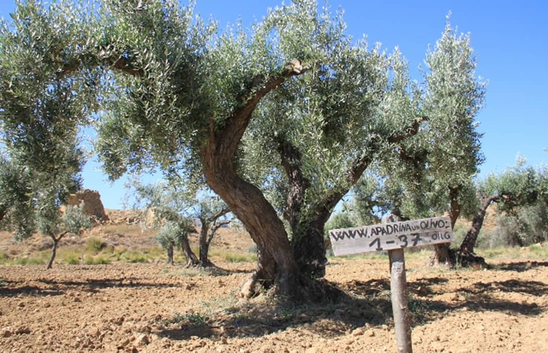 Apadrina un olivo y consigue una casa en el pueblo en Olierte, un pueblo de la España Vaciada