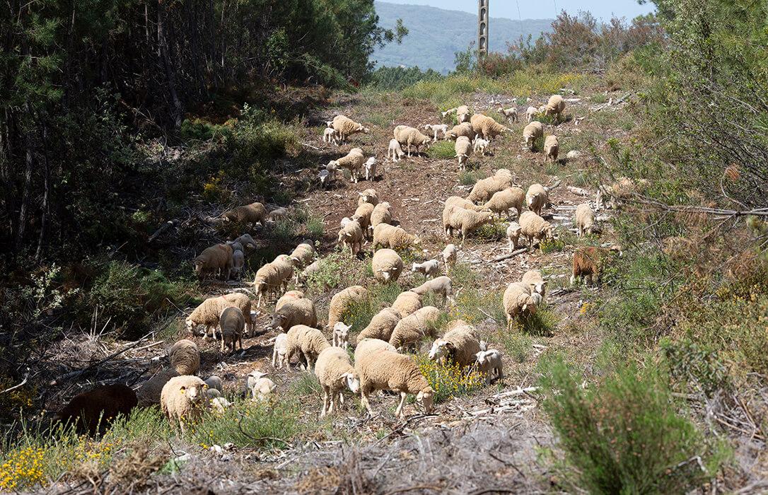La Junta insta a agilizar los trámites de las ayudas al ovino y caprino para poder comenzar a cobrarlas en septiembre