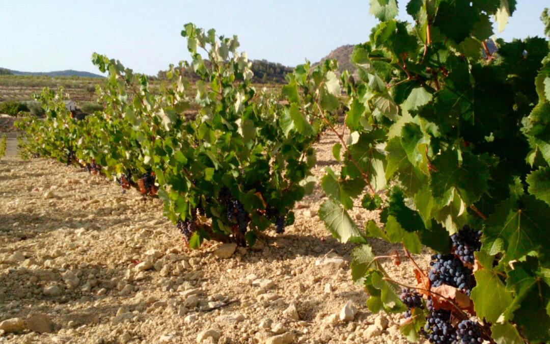 Ante la vendimia en Murcia, recuerdan a las bodegas que deben comprar la uva con contratos adaptados a la Ley de la Cadena