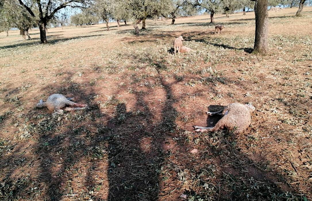 Las tormentas dañan la cosecha de la montanera y dejan perdidos a los ganaderos, al no existir un seguro por el pedrisco en la bellota