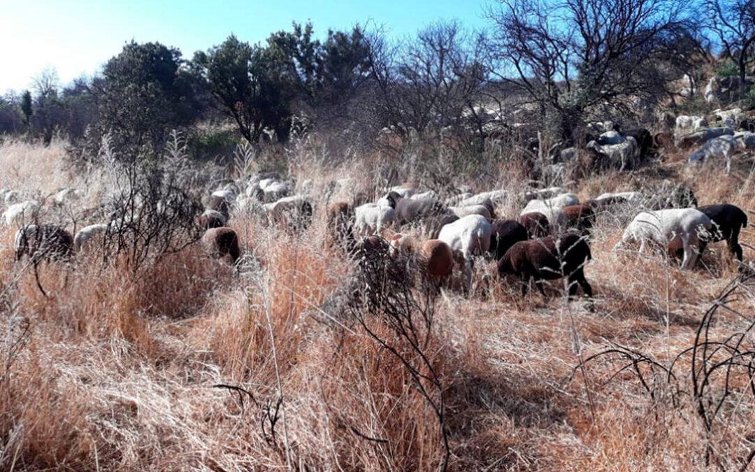 Un nuevo debate en la ganadería: ¿Hay relación entre el aumento del vacío sanitario y el incremento de incedios forestales?