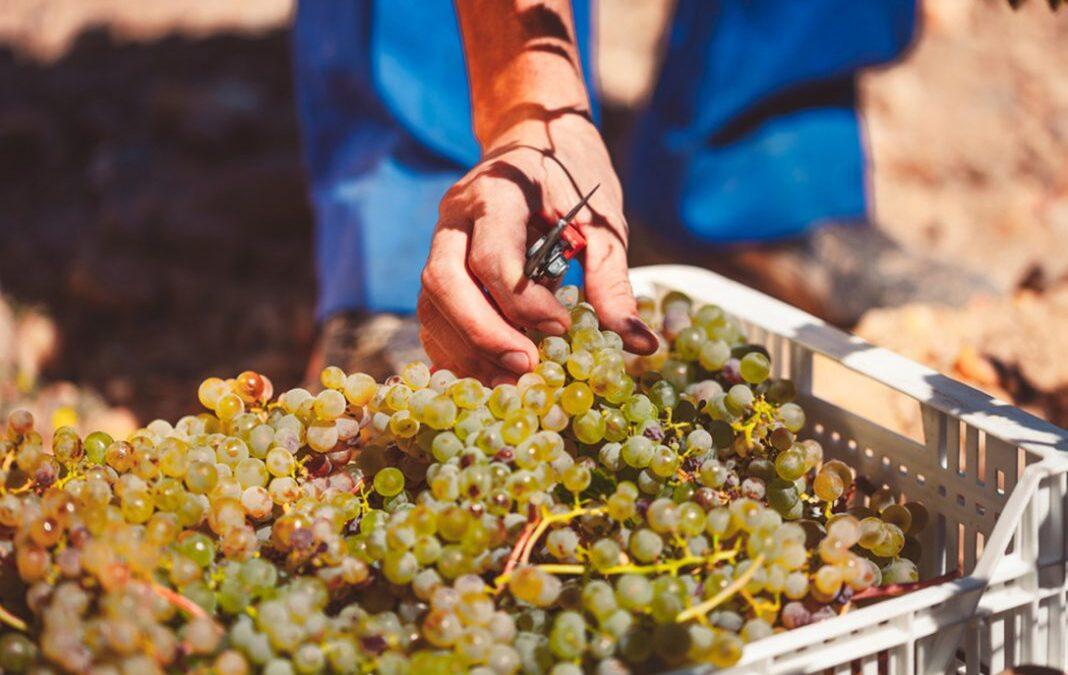 Ante una vendimia complicada: Se abre el debate para cambiar las cosas para que no sea solo el viticultor el que siempre pierda