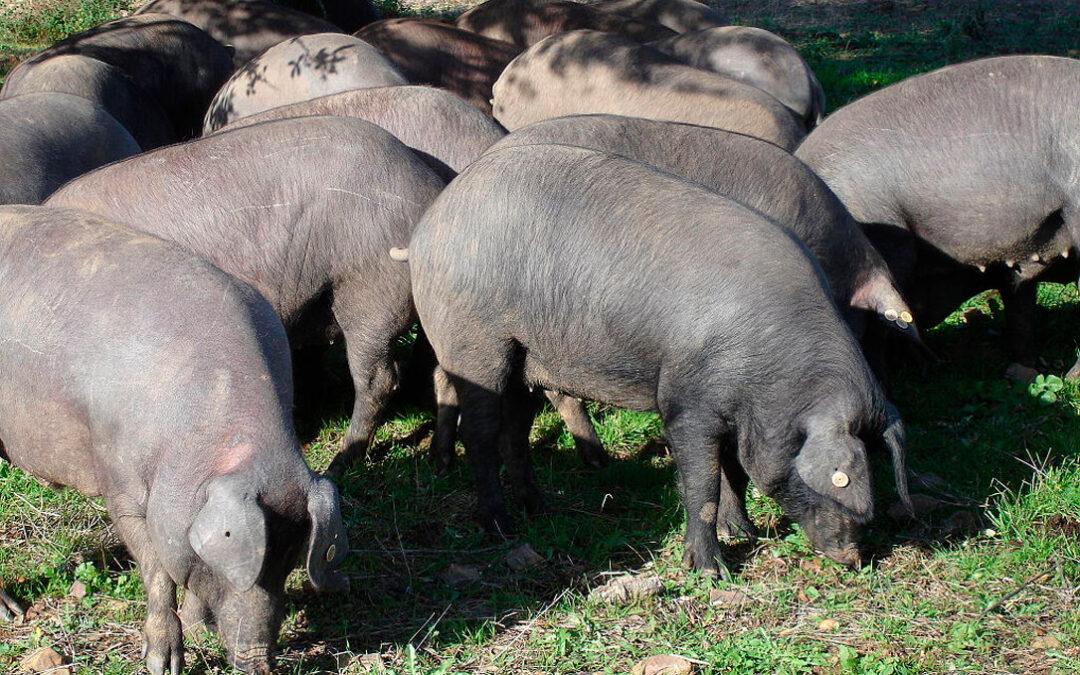 Sale a información pública la extensión de norma en el cerdo ibérico propuesta por Asici que regirá hasta 2026