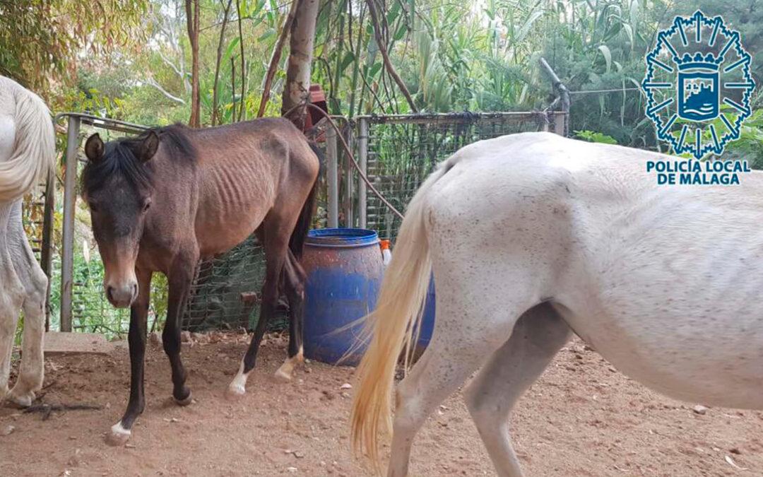 Una persona es investigada por un presunto maltrato de equinos con claros signos de desatención