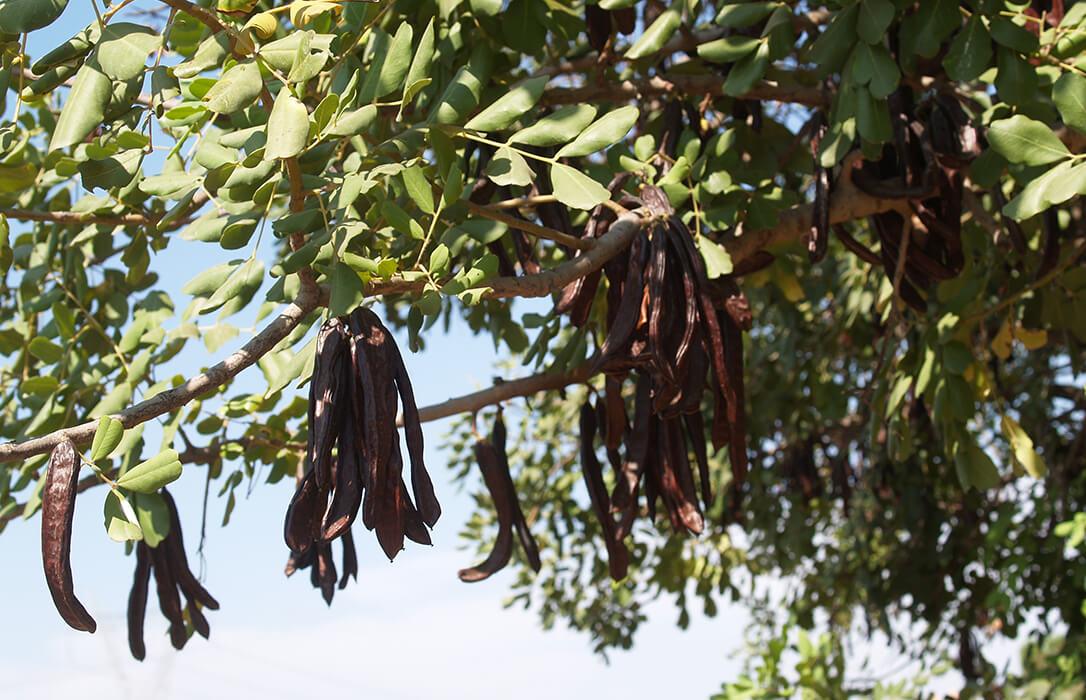 El repunte en el precio y la existencia de «un mercado negro consolidado» dispara los robos de la cosecha de algarrobas