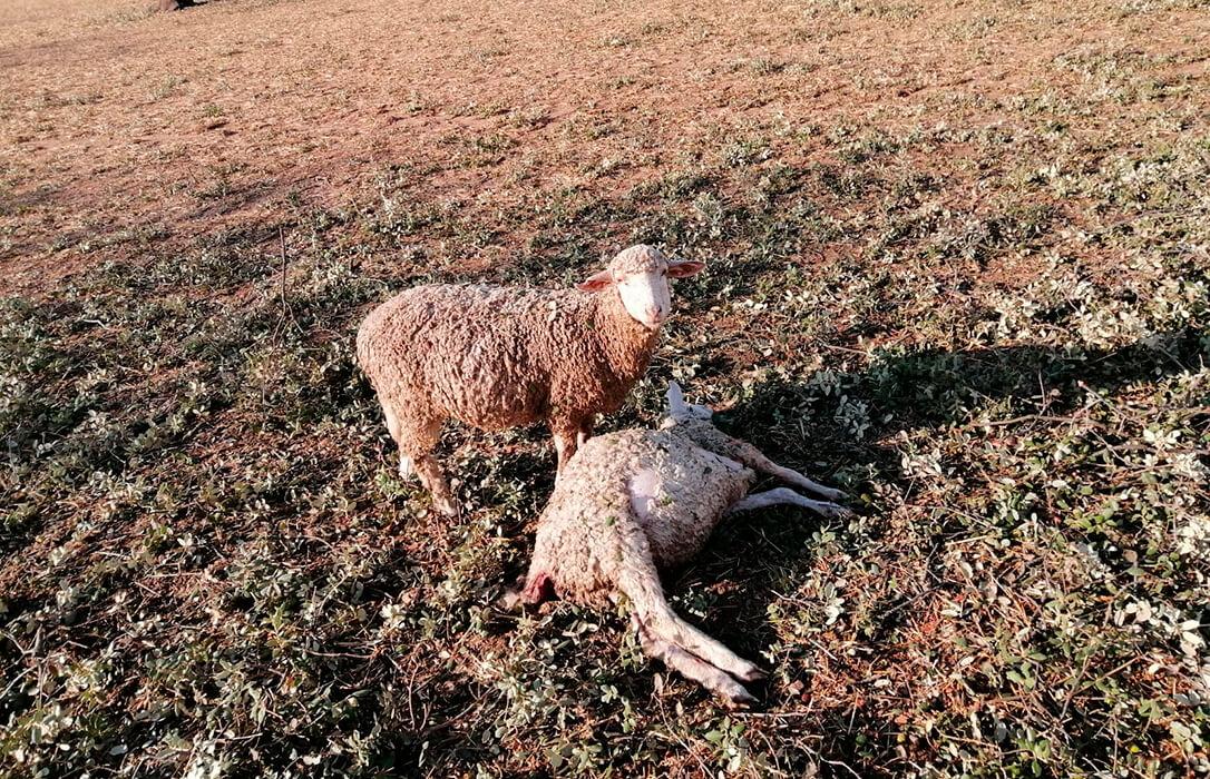 Las tormentas de granizo en Andalucía y Extremadura provocan graves daños en el olivar y el tomate y matan varios animales