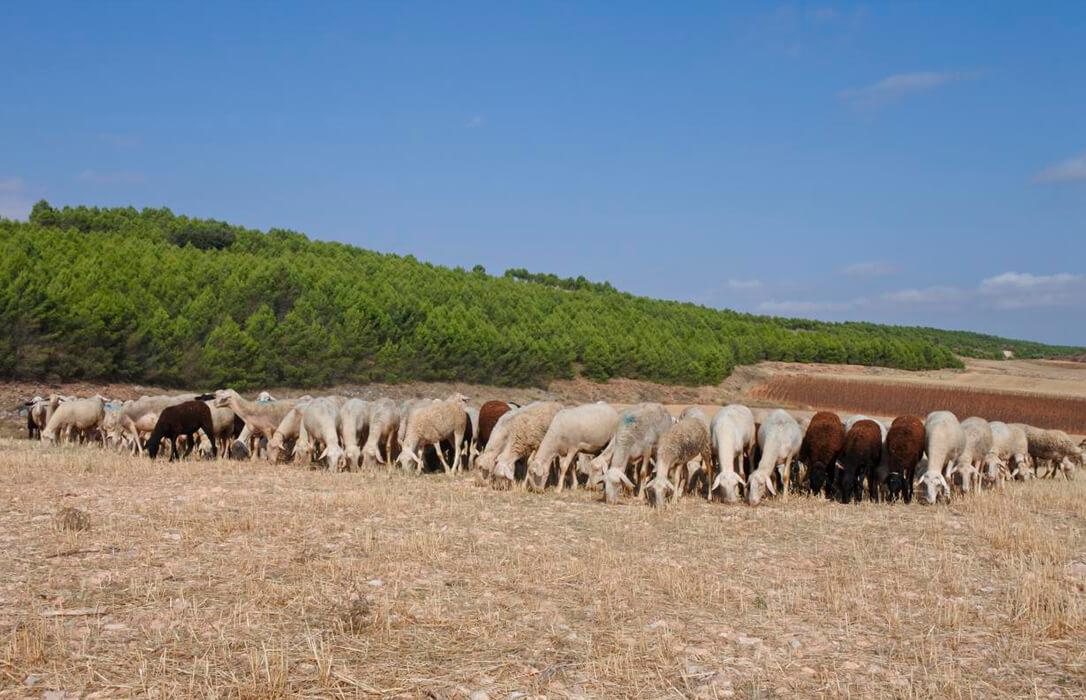 Castilla-La Mancha ha abonado 9,6 millones para el mantenimiento de la ganadería extensiva en el primer semestre de 2020