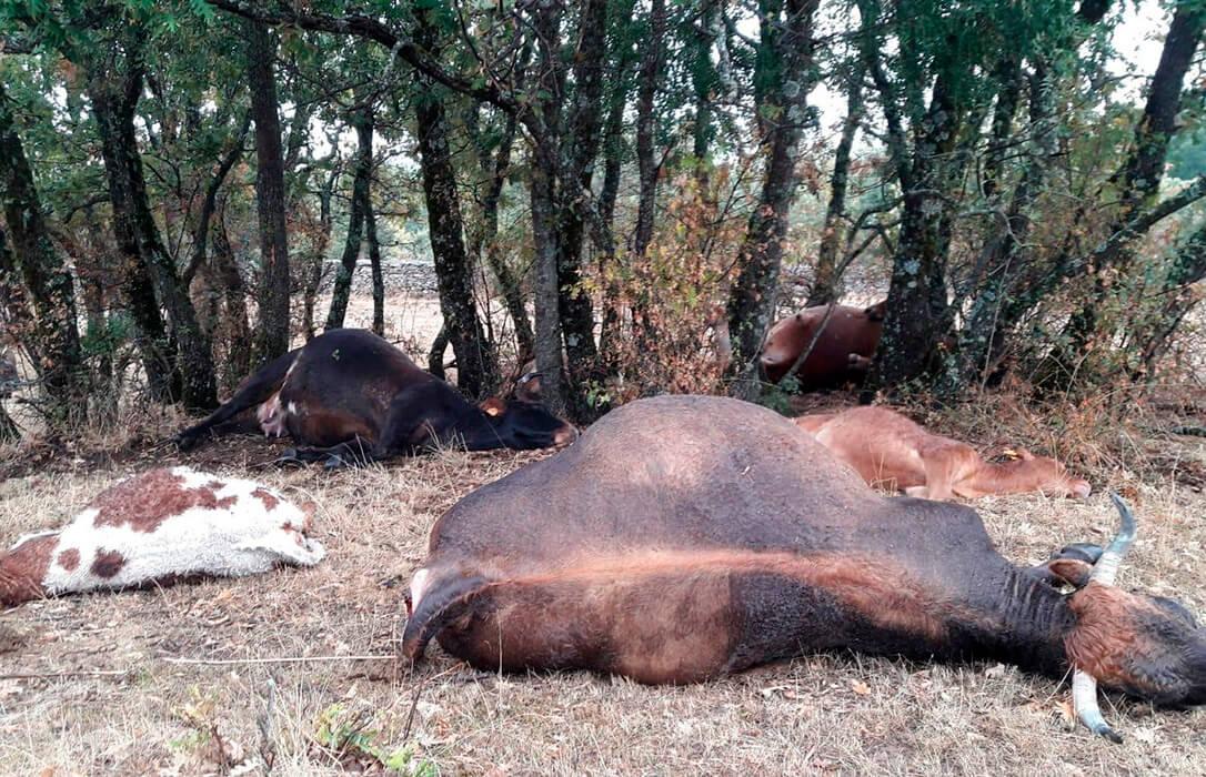 Una vaca y 32 ovejas fallecen en Navarra al resguardarse de la lluvia bajo un árbol y caer un rayo en una tormenta