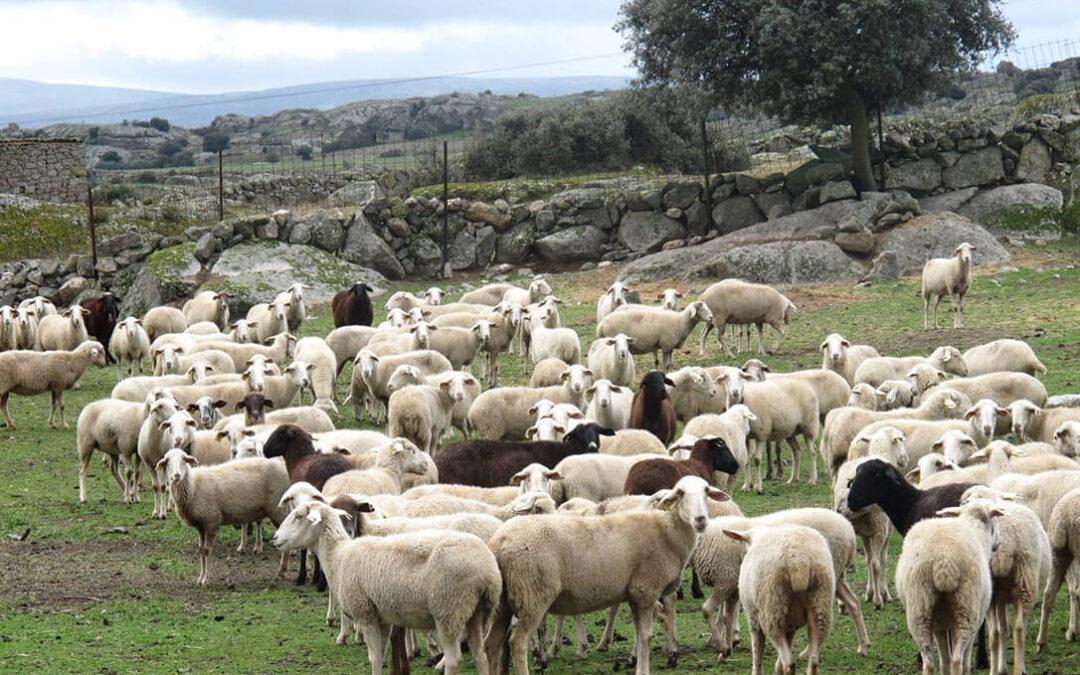 CyL recuerda que las ayudas al cochinillo, cerdo ibérico y lidia, por el Covid-19, se pueden presentar hasta el 31 de agosto