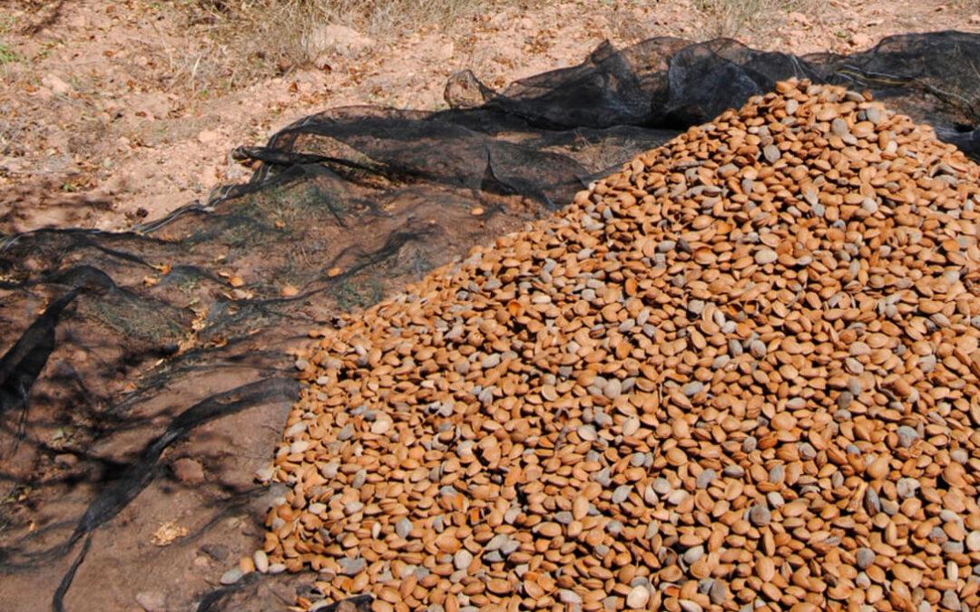 Denuncian que las importaciones masivas de almendra californiana están hundiendo el precio nacional