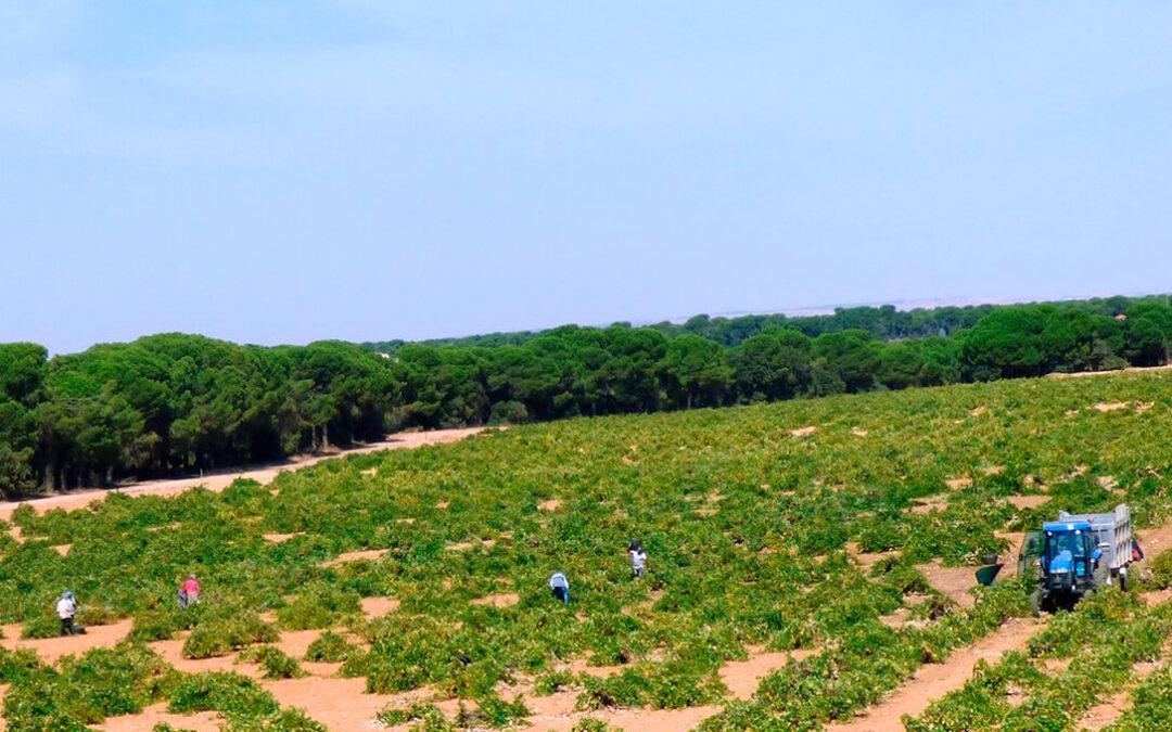 El temor se confirma: La industria presiona a los viticultores para que acepten unos precios por la uva que no cubren los costes