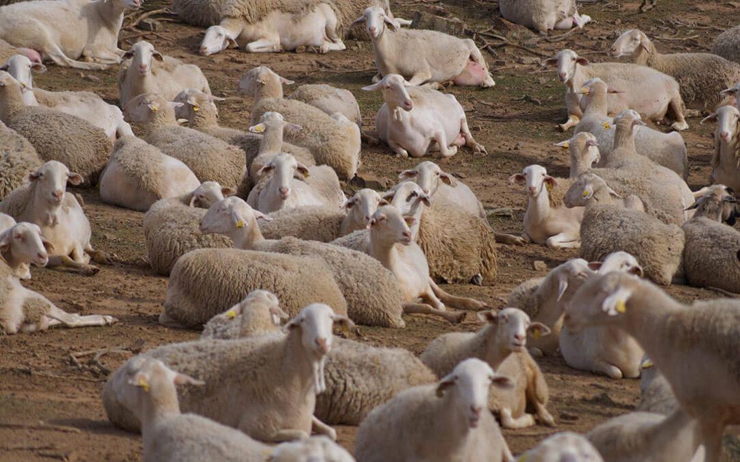 Rechazo al «impuesto» a los productores de ovino y caprino propuesto en la extensión de norma de la Interprofesional