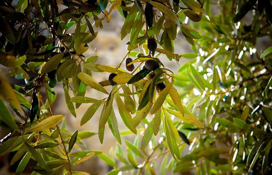 Réquiem por el olivar tradicional