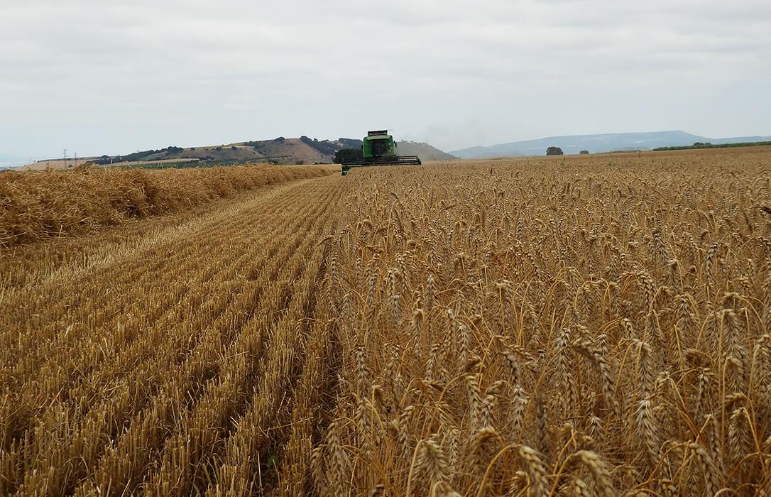 El proyecto 'TRICUM Rioja' consigue mejorar los rendimientos del trigo de alta calidad tras dos años de ensayos en parcelas