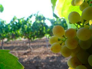 Precio uva de cava: El año pasado bajó un 40% por mucha producción; en esta campaña habrá un 30% menos de cosecha y quieren mantenerlo