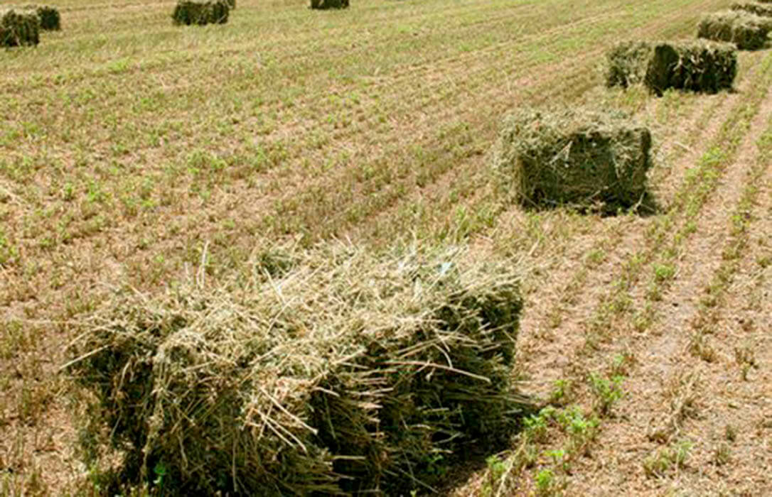 Cambio de criterio de ENESA: Satisfacción porque los seguros cubrirán los daños por sequía en el cultivo de la alfalfa para forraje